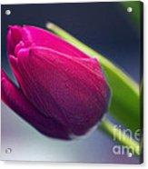 Tulip 2a Acrylic Print