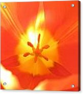 Tulip 5 Acrylic Print