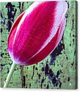 Tulip Against Green Wall Acrylic Print
