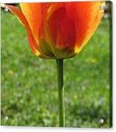 Tulip Backlit 14 Acrylic Print