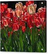 Tulip Bunch Acrylic Print