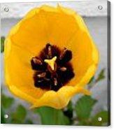 Tulip Center Acrylic Print