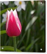 Tulip Acrylic Print by Cim Paddock