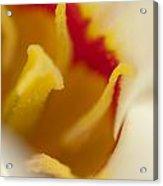 Tulip Close Up 1 Acrylic Print