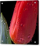 Tulip Close Up Acrylic Print by Garry Gay