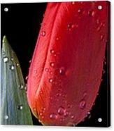 Tulip Close Up Acrylic Print