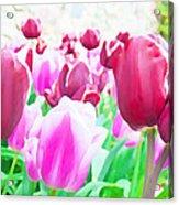 Tulip Delight Acrylic Print