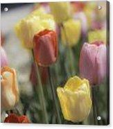 Tulip Display Acrylic Print