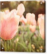 Tulip Dreams Acrylic Print