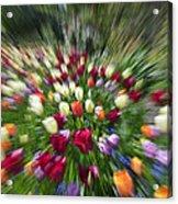 Tulip Explosion Acrylic Print