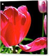 Tulip Extended Acrylic Print