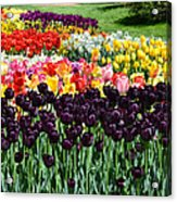 Tulip Field 1 Acrylic Print