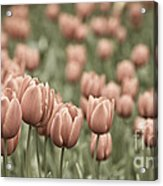 Tulip Field Acrylic Print by Frank Tschakert