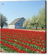 Tulip Field In Washington Stae Usa Acrylic Print