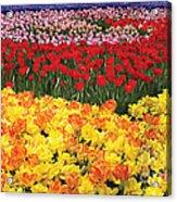 Tulip Field Acrylic Print