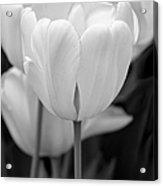 Tulip Flowers In The Garden Monochrome Acrylic Print