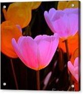 Tulip Glow Acrylic Print