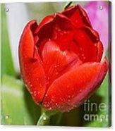 Tulip Heart Acrylic Print
