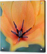 Tulip In Orange Acrylic Print