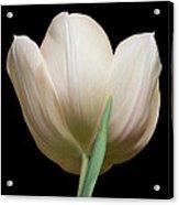 Tulip #2 Acrylic Print