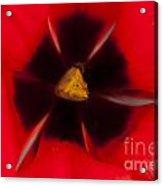 Tulip Macro 1 Acrylic Print