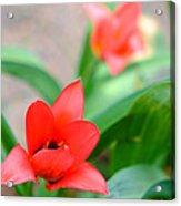 Tulip Of Dream Acrylic Print