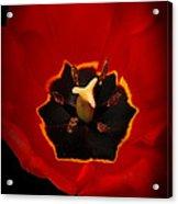 Tulip On Black Acrylic Print