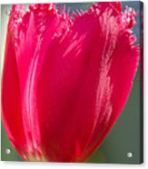 Tulip On The Gray Background Acrylic Print