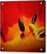 Tulip Sexuality Acrylic Print