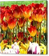 Tulip Stand In Mount Vernon Washington Acrylic Print