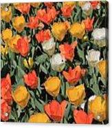 Tulip Stretch Acrylic Print