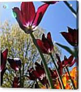 Tulip Tango Acrylic Print