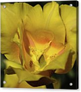 Tulip Time Hopeless Love Acrylic Print