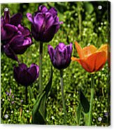 Tulip Time Purple And Orange Acrylic Print