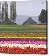 Tulip Town Barns Acrylic Print