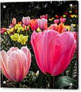 Tulip Trail Acrylic Print