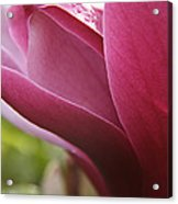 Tulip Tree Flower With Raindrops Acrylic Print