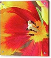 Tulip Warm Tones Acrylic Print