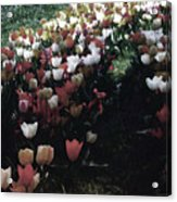Tulipans Acrylic Print