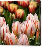 Tulips 31 Acrylic Print