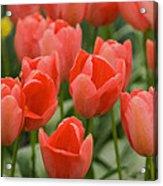 Tulips 33 Acrylic Print