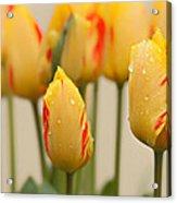Tulips 6 Acrylic Print