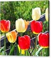 Tulips Aglow Acrylic Print by James Hammen