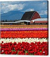 Tulips And Barn Acrylic Print