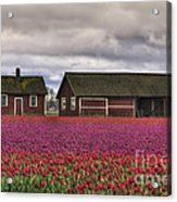 Tulips And Barns Acrylic Print