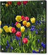 Tulips And Grape Hyacinths Acrylic Print