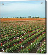Tulips As Far As The Eye Can See Acrylic Print by Nick  Boren