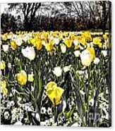 Tulips At Dallas Arboretum V26 Acrylic Print