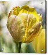 Tulips At Dallas Arboretum V27 Acrylic Print