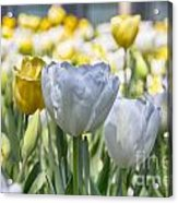 Tulips At Dallas Arboretum V28 Acrylic Print
